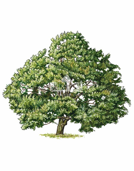 Klon jawor (Acer pseudoplatanus)