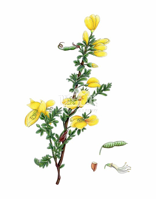Komonica błotna (Lotus uliginosus)