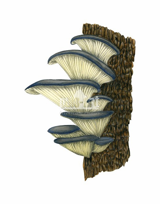 Boczniak ostrygowaty (Pleurotus ostreatus)