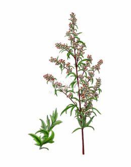 Bylica pospolita (Artemisia vulgaris)