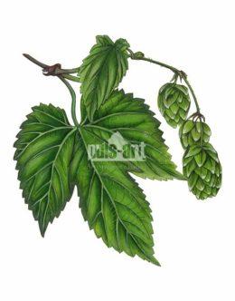 Chmiel zwyczajny (Humulus lupulus)