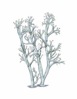 Chrobotek leśny (Cladonia arbuscula)