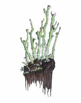 Chrobotek otwarty (Cladonia cenotea)