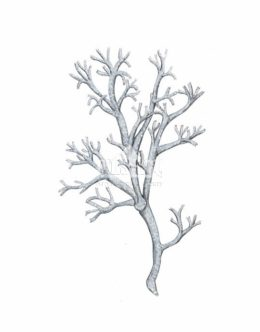 Chrobotek reniferowy (Cladonia rangiferina)