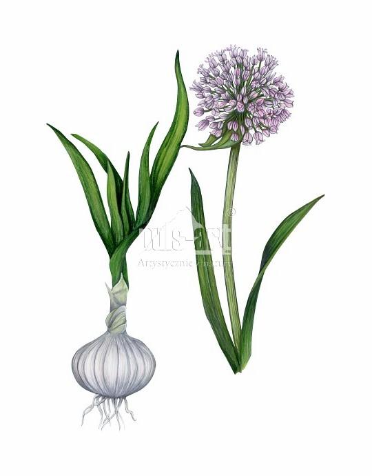 Czosnek pospolity (Allium sativum)
