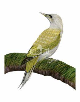 dzieciol zielonosiwy (picus canus)
