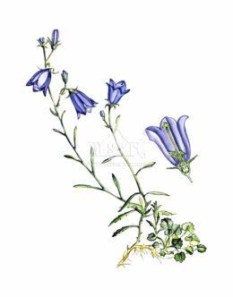 Dzwonek okrągłolistny (Campanula rotundifolia)