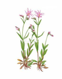 Firletka poszarpana (Silene flos-cuculi)