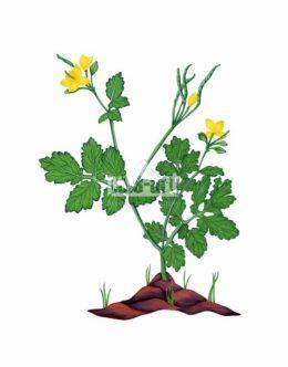 Glistnik jaskółcze ziele (Chelidonium majus)