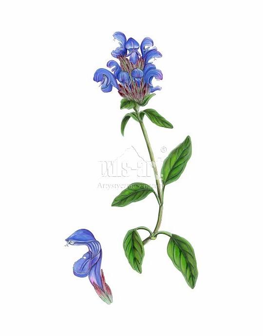 Głowienka pospolita (Prunella vulgaris)
