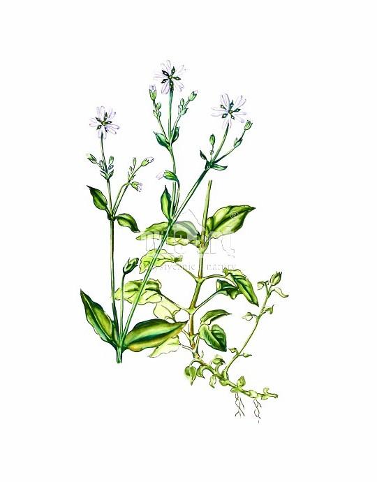 Gwiazdnica gajowa (Stellaria nemorum)