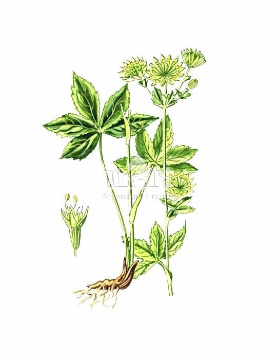 Jarzmianka większa (Astrantia major)