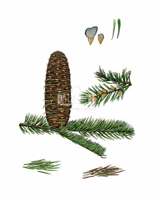 Jodła biała (Abies alba)