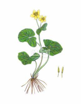 Knieć błotna (Caltha palustris)