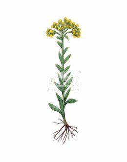 Kocanki piaskowe (Helichrysum arenarium)