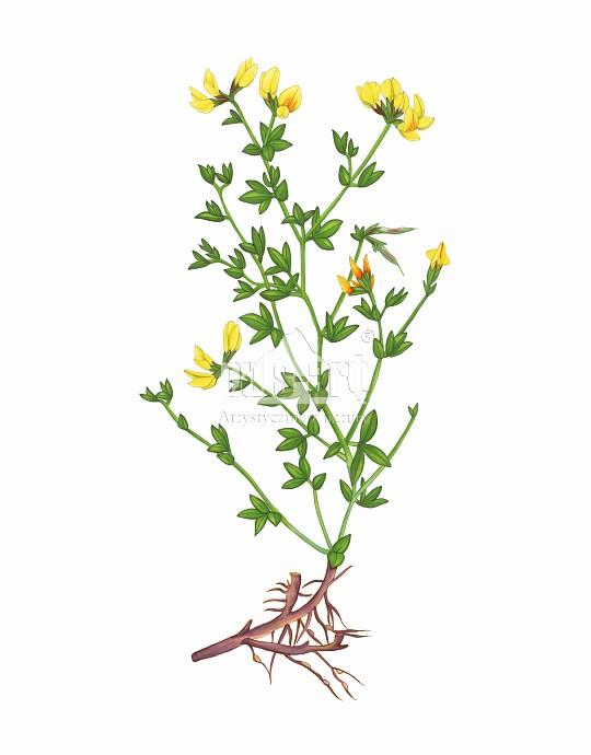 Komonica zwyczajna (Lotus corniculatus)