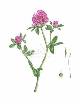 Koniczyna łąkowa (Trifolium pratense)