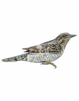 Krętogłów zwyczajny (Jynx torquilla)