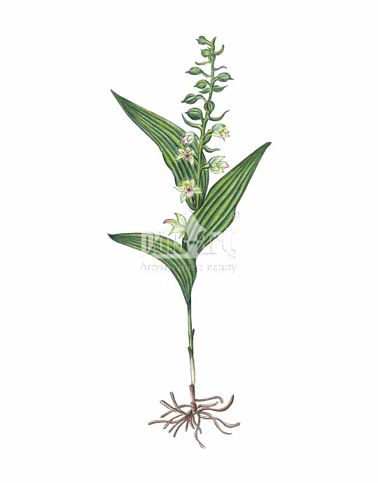 Kruszczyk szerokolistny (Epipactis helleborine)