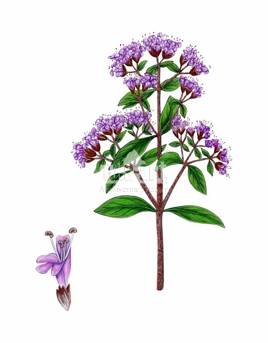 Lebiodka pospolita (Origanum vulgare)
