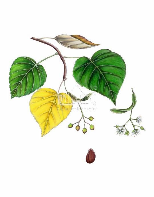 Lipa drobnolistna (Tilia cordata)