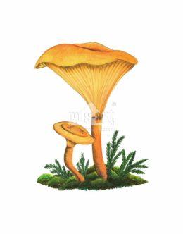 Lisówka pomarańczowa (Hygrophoropsis aurantiaca)