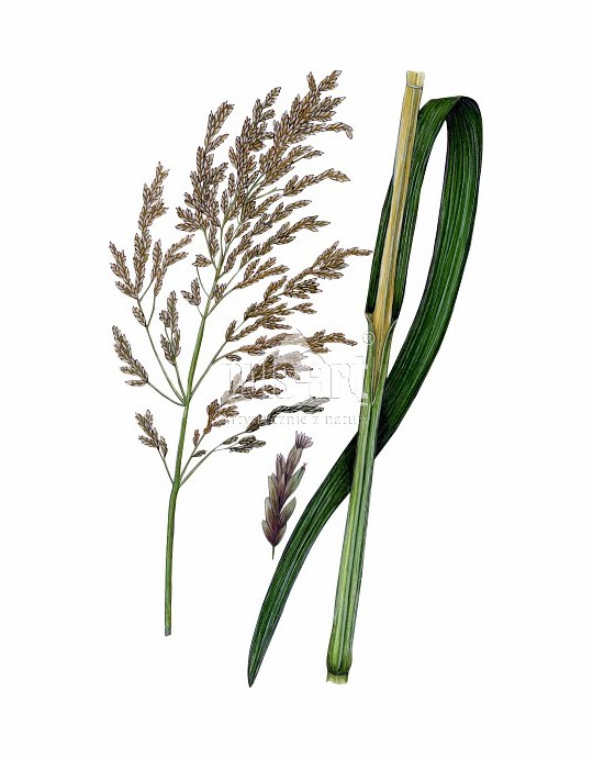 Manna mielec (Glyceria maxima)