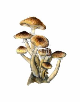 Opieńka miodowa (Armillaria mellea)