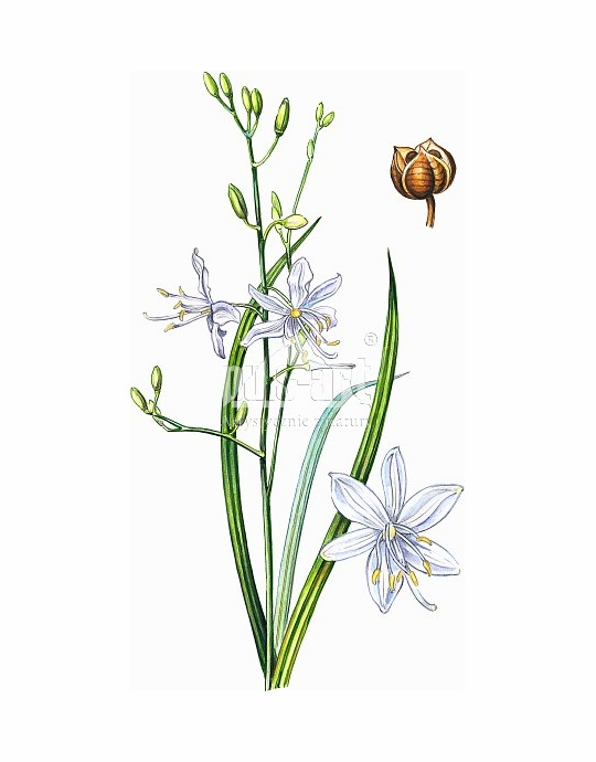 Pajęcznica gałęzista (Anthericum ramosum)