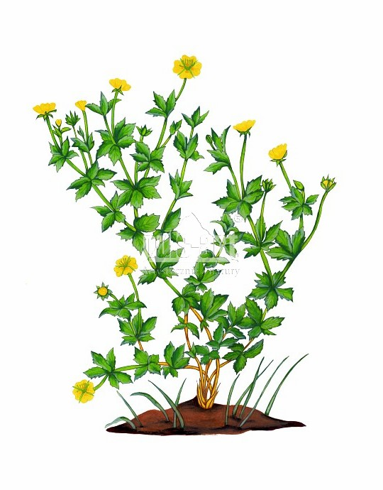 Pięciornik kurze ziele (Potentilla erecta)