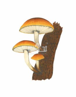 Płomiennica zimowa (Flammulina velutipes)