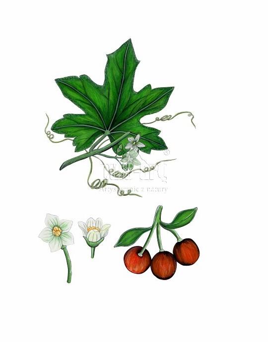 Przestęp dwupienny (Bryonia dioica)