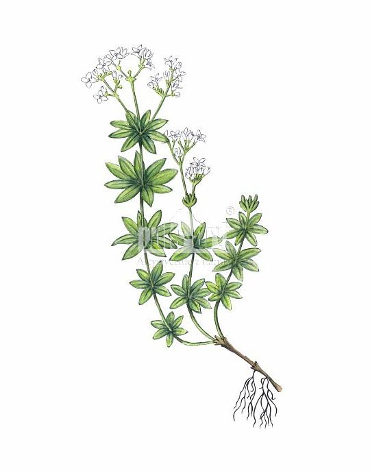 Przytulia wonna (Galium odoratum)