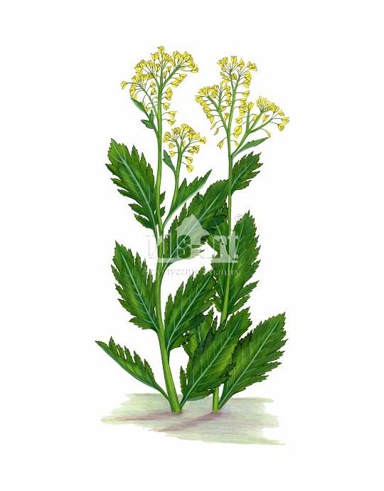 Rzepicha ziemnowodna (Rorippa amphibia)