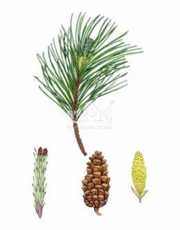 Sosna czarna (Pinus nigra)