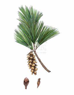 Sosna wejmutka (Pinus strobus)