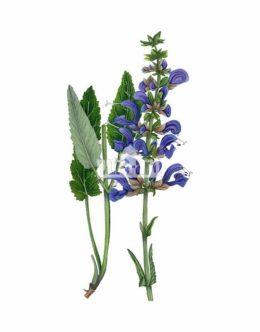 Szałwia łąkowa (Salvia pratensis)