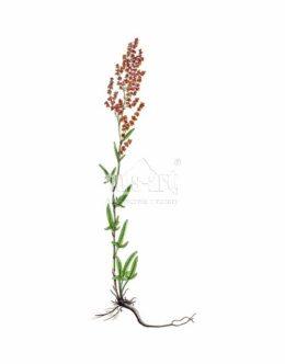Szczaw polny (Rumex acetosella)