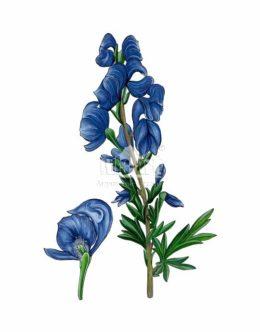 Tojad mocny (Aconitum firmum)