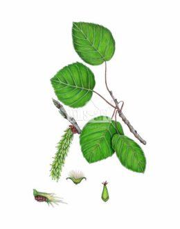 Topola osika (Populus tremula)
