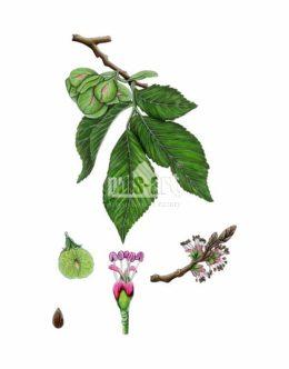 Wiąz pospolity (Ulmus minor)