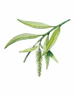 Wierzba biała (Salix alba)