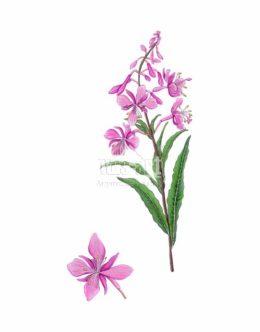 Wierzbówka kiprzyca (Chamaenerion angustifolium)