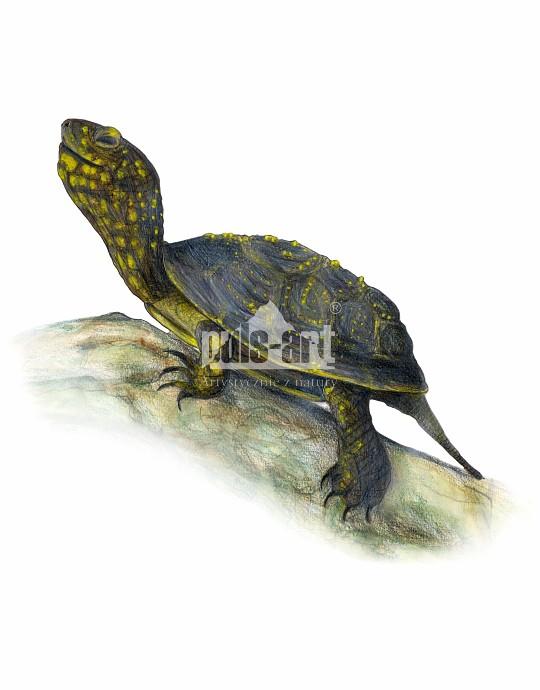 Żółw błotny (Emys orbicularis)