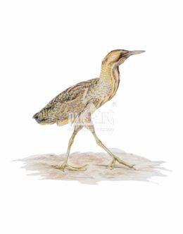 Bąk zwyczajny (Botaurus stellaris)