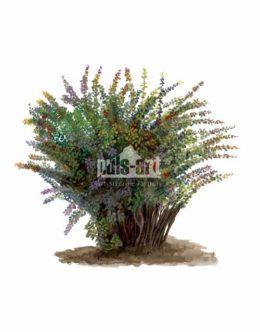 Berberys pospolity (Berberis vulgaris)