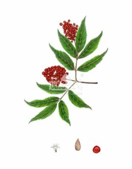 Bez koralowy (Sambucus racemosa)