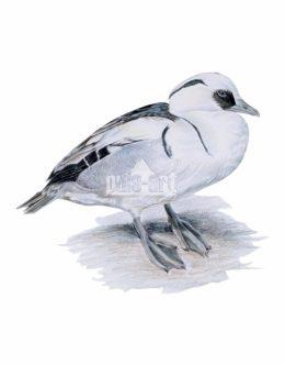 Bielaczek (Mergellus albellus)