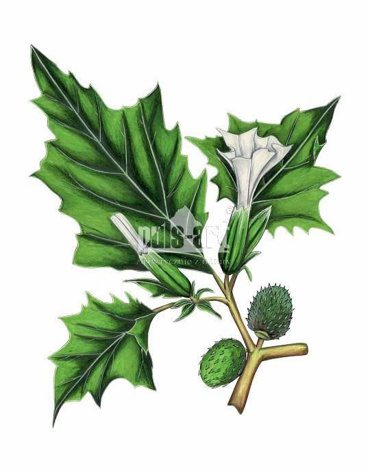 Bieluń dziędzierzawa (Datura stramonium)