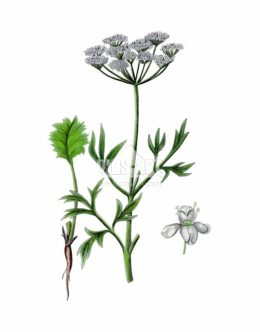 Blekot pospolity (Aethusa cynapium)